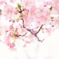お花見の時期にぴったり!暖かな春を感じる桜の絵本特集