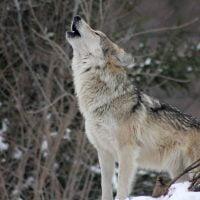 動物:オオカミの絵本特集