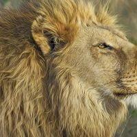 動物:ライオンの絵本特集