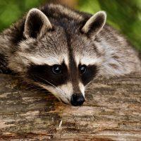 動物:タヌキの絵本特集